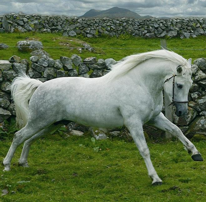 Коннемарский пони