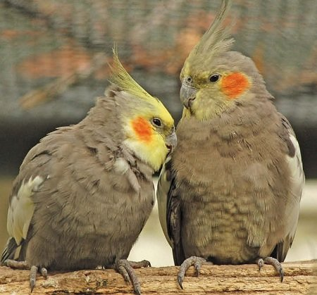 Корелла — папуга з чубчиком на голові