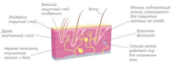 Анатомия кожи собаки