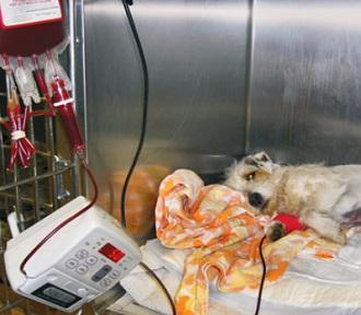 Переливание крови у собаки