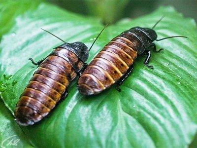 Родина шипящего таракана - большой остров Мадагаскар у восточного побережья Африки