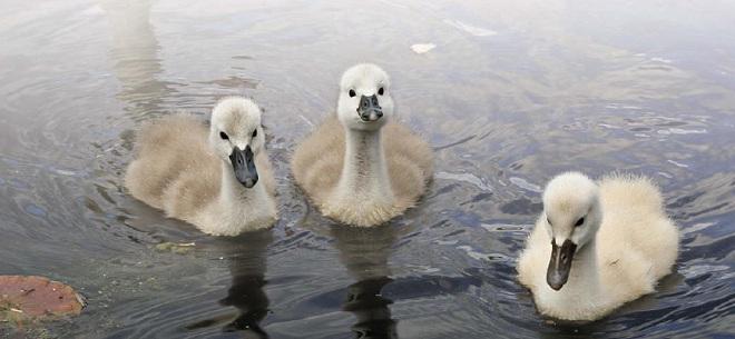 птенцы лебедя-трубача