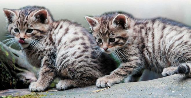 Котята кавказской кошки