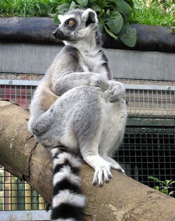 Котячий лемур - web-zoopark.ru