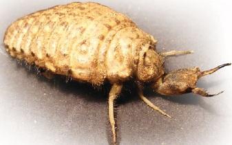 Личинка муравьиный лев