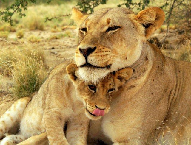 львенок и львица