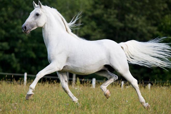 Лошадь породы липицанер