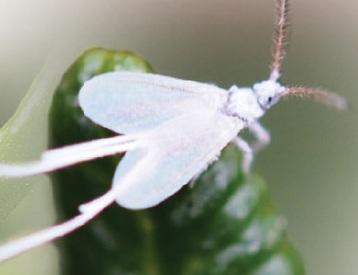 листоблошка