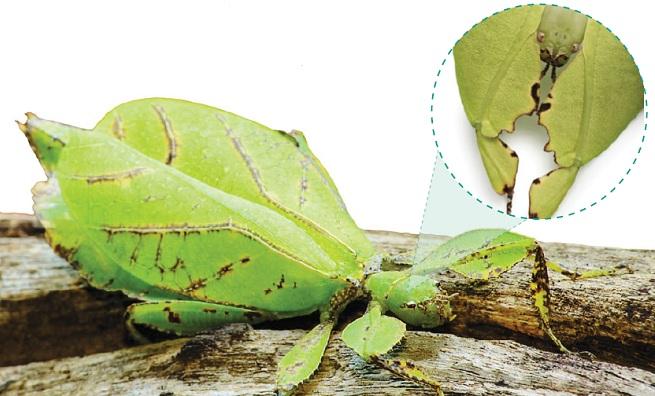 Малайзийская листовидка Phyllium giganteum
