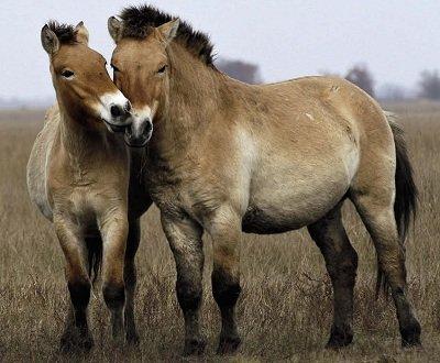 Кінь Пржевальського. Дикі тварини