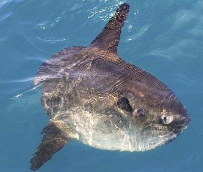 Рыба-луна (Mola mola)