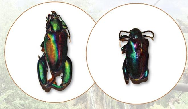 Жук-лягушка: самец и самка