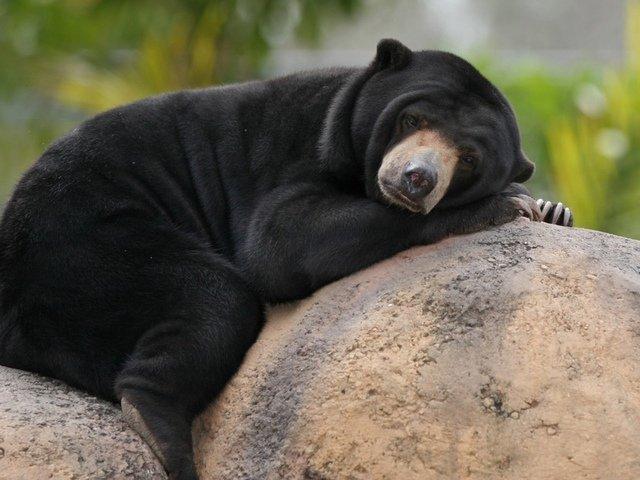 Малайський ведмідь (бируанг)