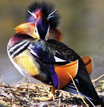 Качка-мандаринка. Птахи