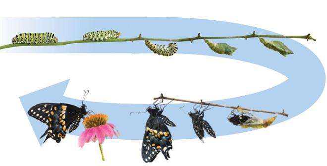 Метаморфоз насекомых