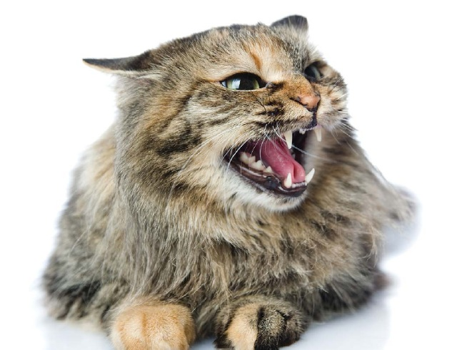 злая кошка
