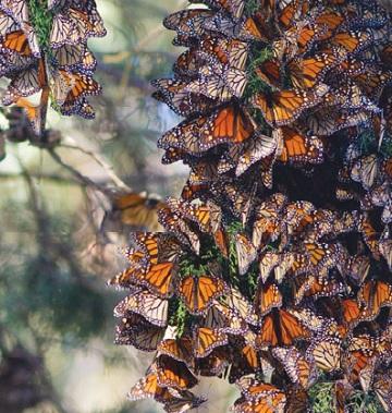 бабочки данаиды монарх