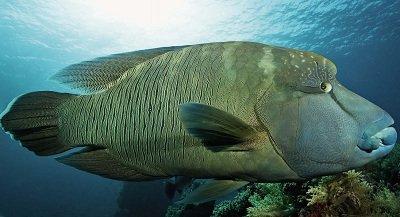 Риба-наполеон (шишколобая риба-папуга)
