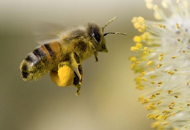 Задние собирательные ноги представителей семейства пчелиных