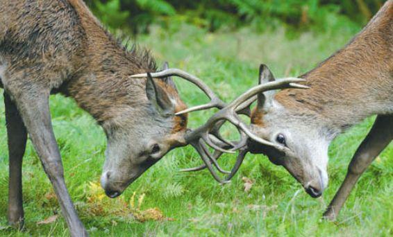 Состязания оленей-самцов