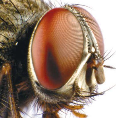Глаз мухи в увеличенном виде