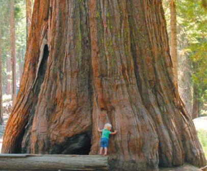 Самое большое хвойное дерево