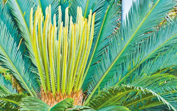 Саговниковые растения