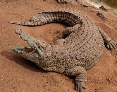 нільський Крокодил. Рептилії