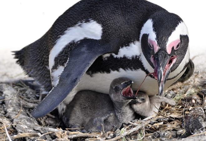 птенцы пингвина