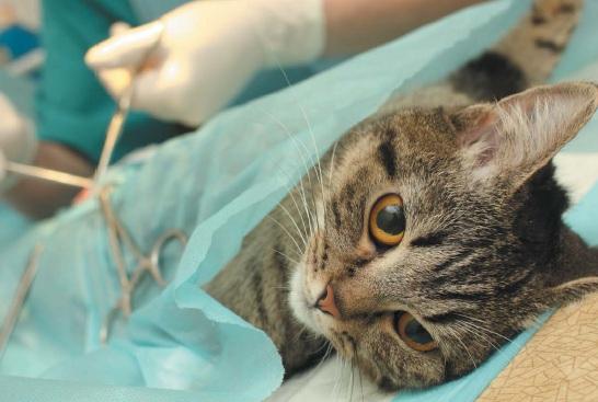 Удаление раковой опухоли у кошки