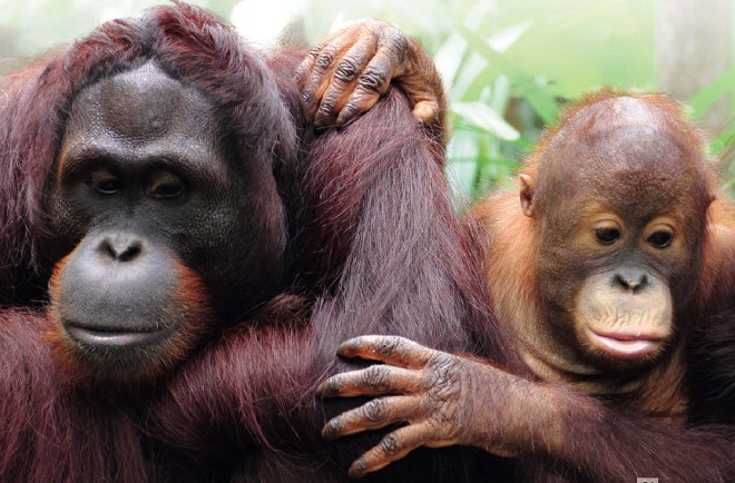 Орангутан суматранский