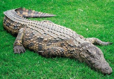 Крокодил гостроморда. Рептилії
