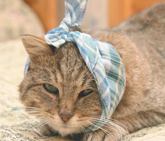 кошка, пораженная ушным клещом