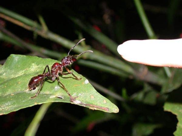 Найбільші та найнебезпечніші мурахи