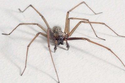 Павук будинковий. Сайт про тварин