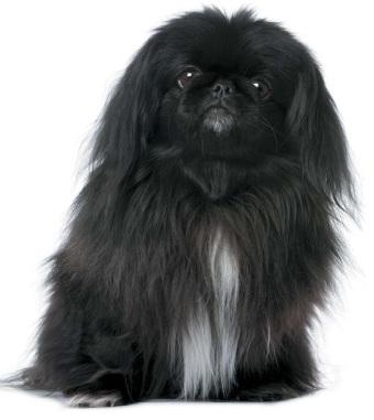 Пекінес. Порода собак