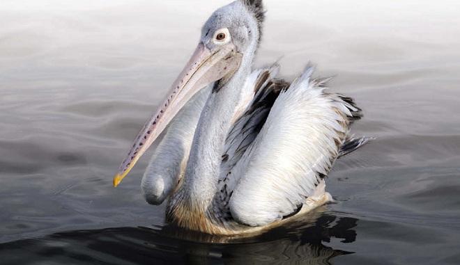 Пеликан серый