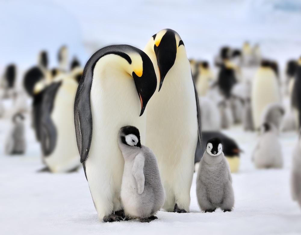 Семья императорских пингвинов