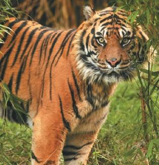 Тигр – це один з найбільш великих представників кішок