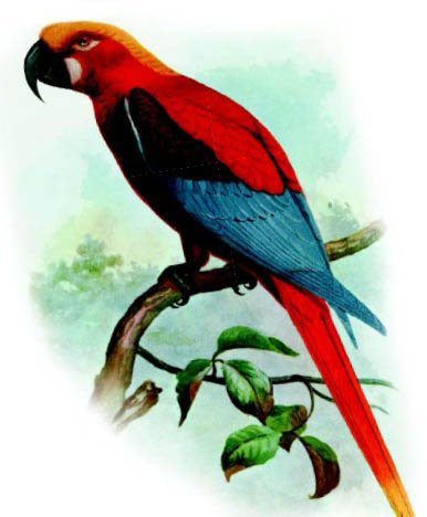Кубинський ара