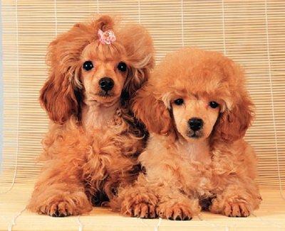 Пудель   Породи собак