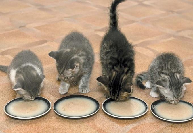 котята едят кашу