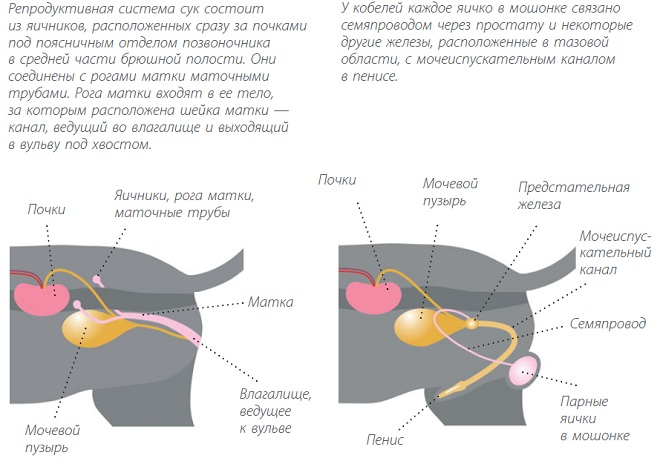 Репродуктивнаясистема собак