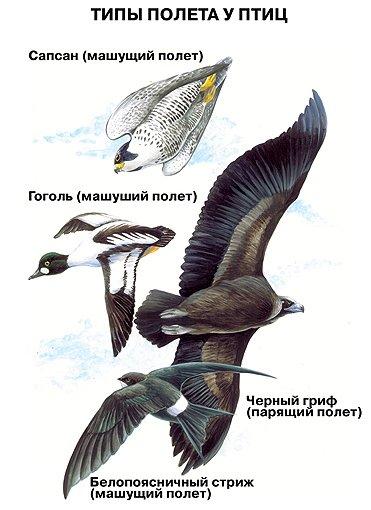 Способи пересування у птахів