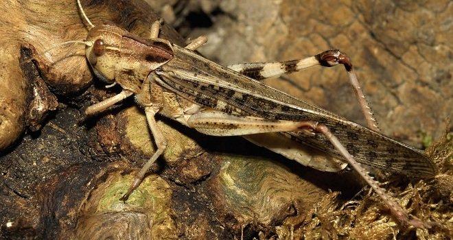 Саранча азиатская перелетная (Locusta migratoria)