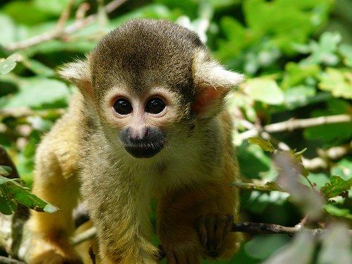 Саймірі. Рід мавп