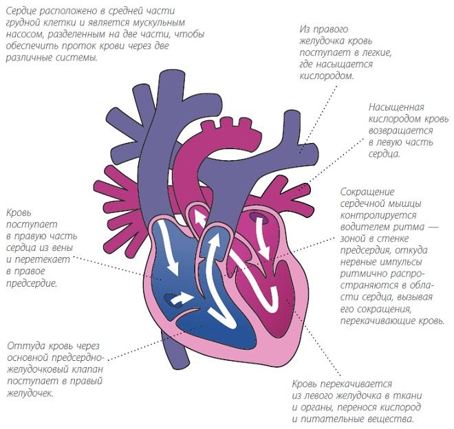Как работает сердце собаки