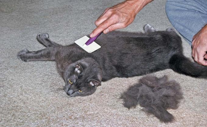 Короткошерстную кошку можно вычесывать раз в неделю