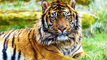 Суматранський тигр