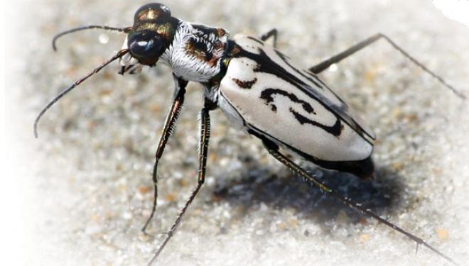 Cicindela dorsalis